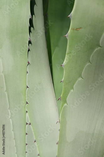American aloe background