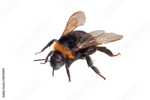 Bumble Bee Isolated
