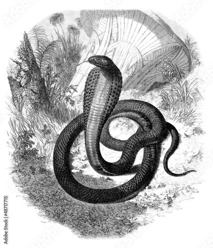 Snake : Cobra (Naia Haje)
