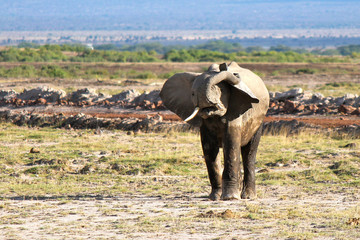 elefante - safari in Kenya