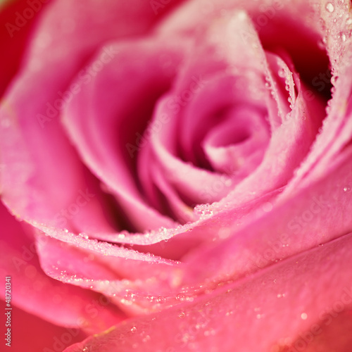 pink roses © Natalia Klenova