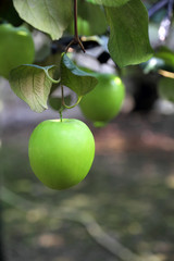 Green jujube fruit