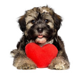 Fototapety Lover Valentine Havanese puppy dog with a red heart