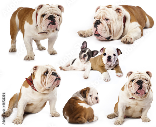 english bulldog in different poses