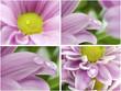 Collection. Macro chrysanthemums