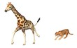 le puma chasse la girafe