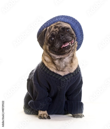 Funny pug dog wearing hat and sweater