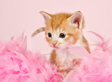 Pink feathers surrounding a ginder kitten - 48731188