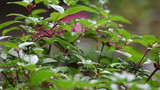 rain falls on the lush foliage of a fuchsia plant