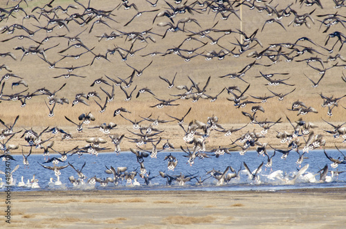Flock of Greylag Goose