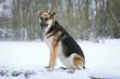Hund - Schäferhund