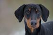 Schwarzer Hund - Dobermann - Portrait