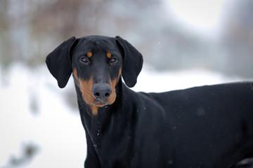 Hund - Dobermann