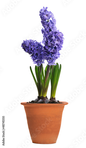 blue hyacinth in ceramic pot
