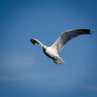 Flying seagull on blue sky.