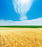 golden barley and blue cloudy sky