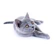 Junge, graue Katze (British Kurzhaar)