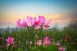 lotus flower in sunset