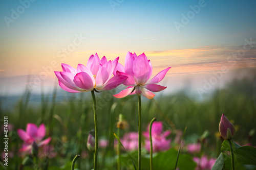 Staande foto Lotusbloem lotus flower in sunset