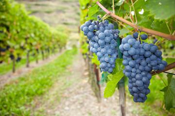Weinreben für Rotwein in Deutschland