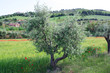 Rural Italian landscape with olive trees