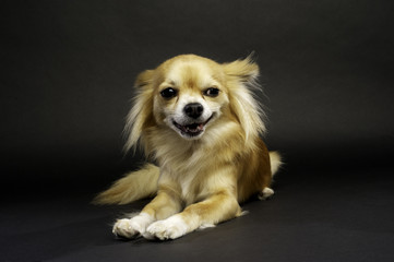 Chihuahua Laid on a Black Background