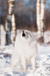 samoyed dog barking outdoors