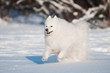 happy samoyed dog running in the snow
