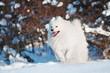happy samoyed dog running in the snow