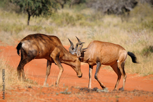 Fighting hartebeest Red