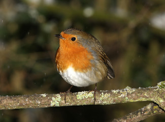 A Robin perched on a branch in winter