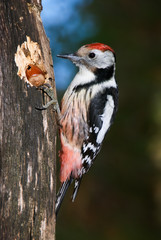Middle spotted woodpecker feeding on a hazelnut wedged in a log