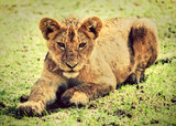 A small lion cub portrait.  Ngorongoro crater, Africa