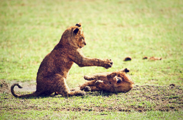 Small lion cubs playing.  Ngorongoro crater, Africa