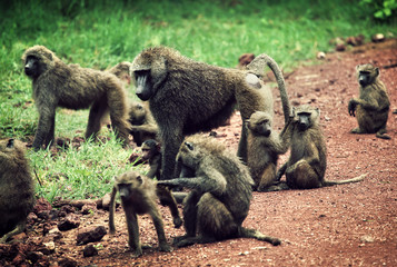 Baboon monkeys in African bush. Tanzania