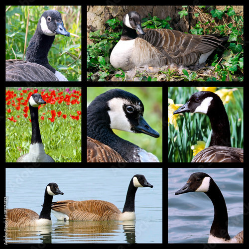 Seven mosaic photos of Canada geese