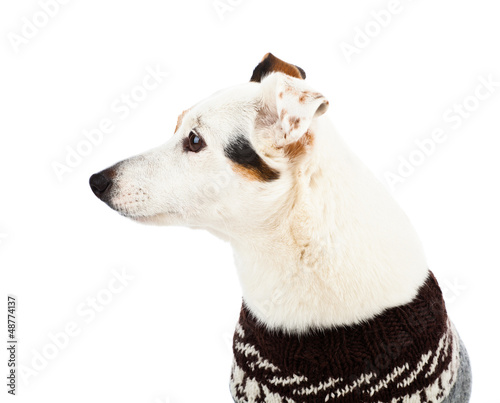 Jack russell sitting with sweater