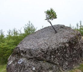 Small tree growing on a boulder