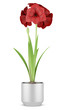 red flower in metallic pot isolated on white background
