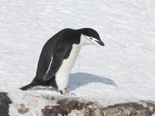 Antarctic penguin walking down the slope.