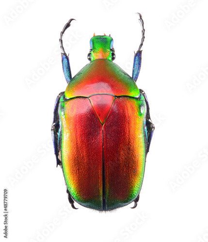 jewelry beetle, bug isolated on white background