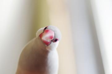 考える文鳥