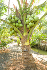 Bunch of Coconuts on Coconut Tree in organic farm