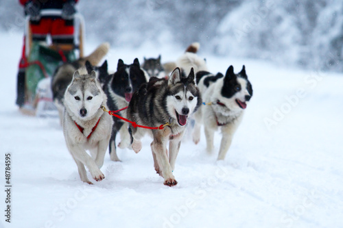 Race on dogsleds in the cold winter
