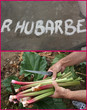 Rhubarbe - Potager  -Cueillette - Culinaire