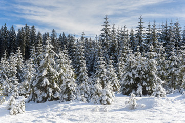 Snow covered spruce trees in Winter