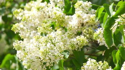 Branches of a white lilac on a wind
