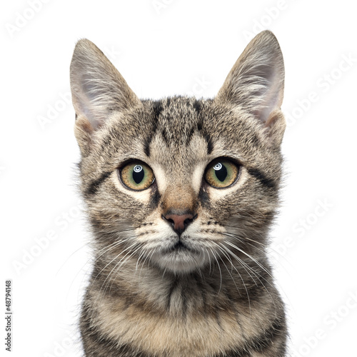 Little gray kitten portrait up isolated on white background.