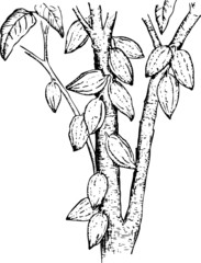 Plant theobroma (Cocoa pods)