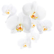 Phalaenopsis. White orchid flowers isolated on white background